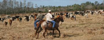 An Old-Fashioned Cattle Drive at the Crescent J